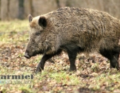 דאגה במשגב: חזירי בר מסכנים את התושבים