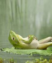 שש צפרדעים ישבו על עלה....